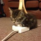 Purpur Katze